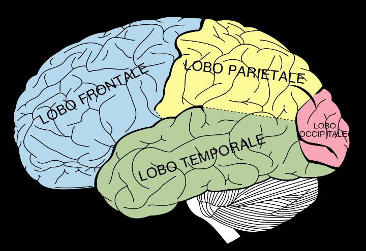 Cervello_wikipedia_2017