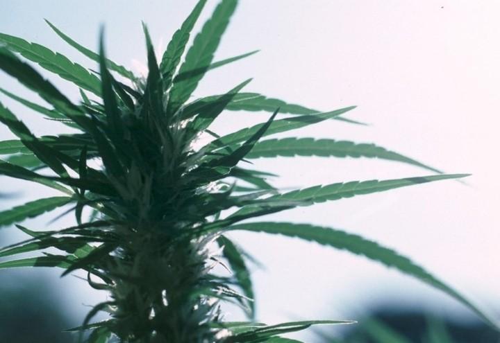 Marijuana_Foglie_Lapresse