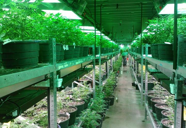 coltivazione_marijuana_cannabis_pixabay