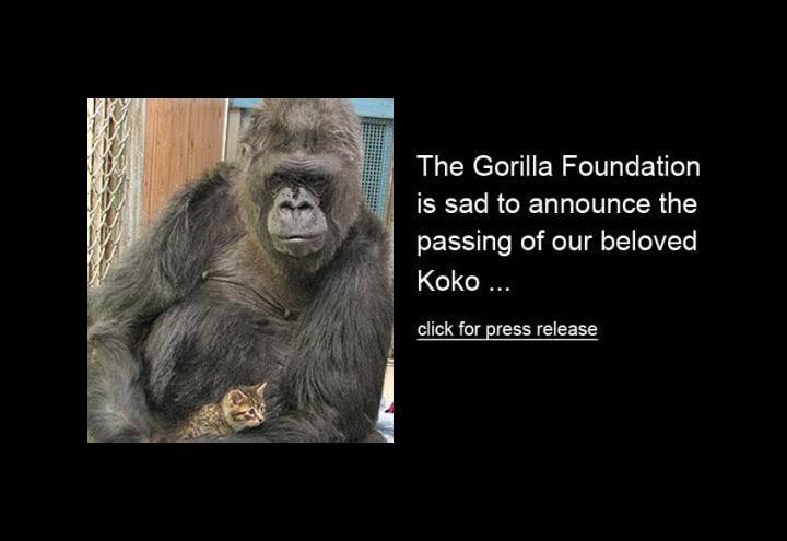 gorilla_koko_2018
