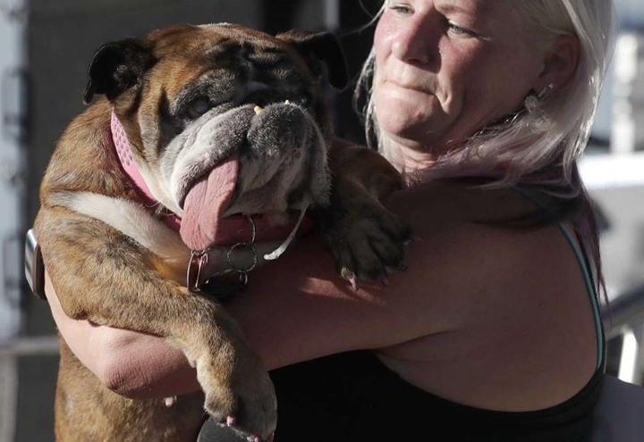 zsa-zsa-il-bulldog-inglese-brutto