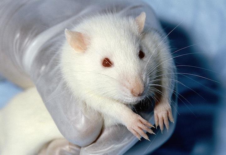 cavia_laboratorio_sperimentazione-animale-favorevoli-o-contrari
