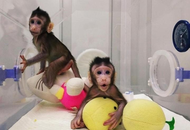 clonazione_macaco_lapresse_2018