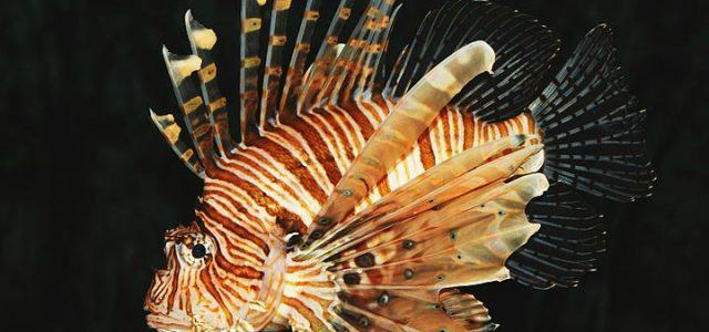 pesce_scorpione_wikipedia