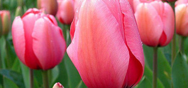 tulipani_campo_foto_wikipedia_2018