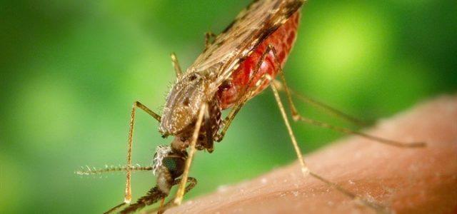 La zanzara della malaria