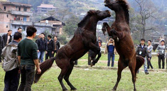 Cavallo_lotta