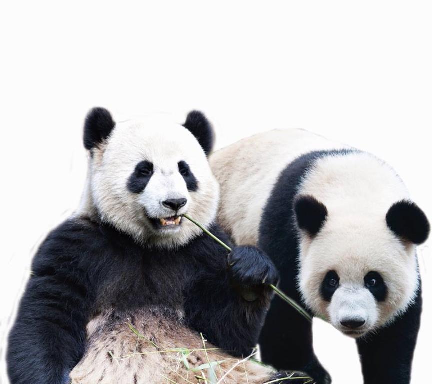 Panda_bambu
