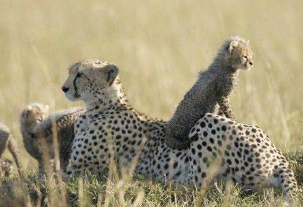 african-cats_439