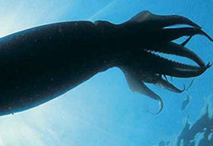 calamaro-gigante_R439