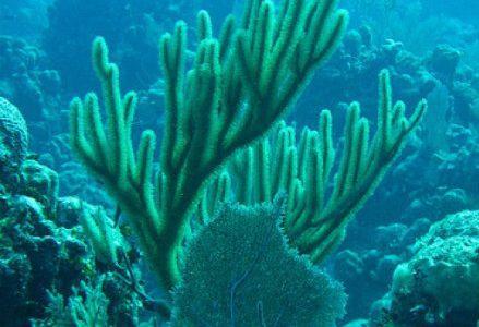 coralli_R439