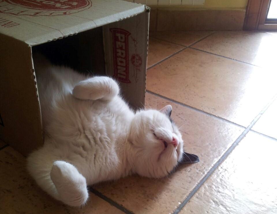 gatto_bianco