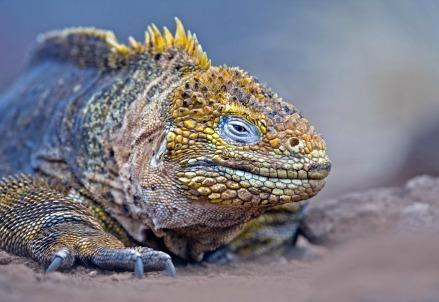 iguana_galapagosR439