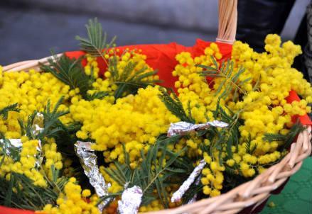mimosa_nuova_r439