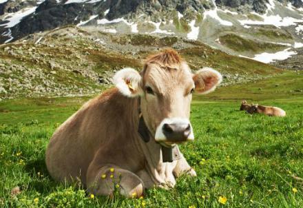 mucca-svizzera_R439