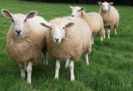 pecore_R439