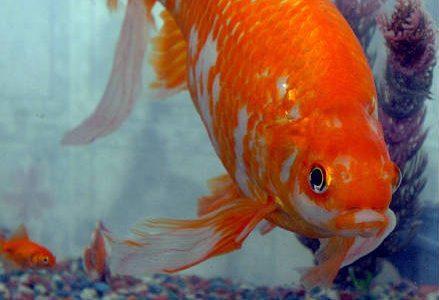 pesce_rosso_r439