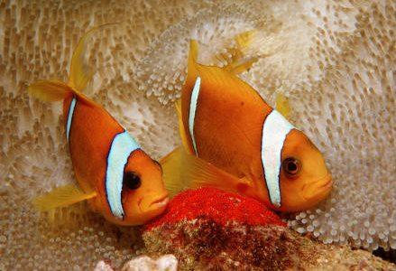 pesci_pagliaccio_r439