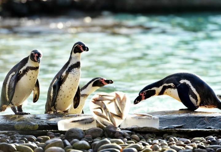 pinguini_amore_animali_lapresse_2017