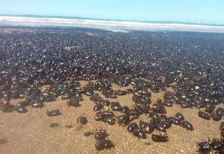 scarafaggi-spiaggia_R439
