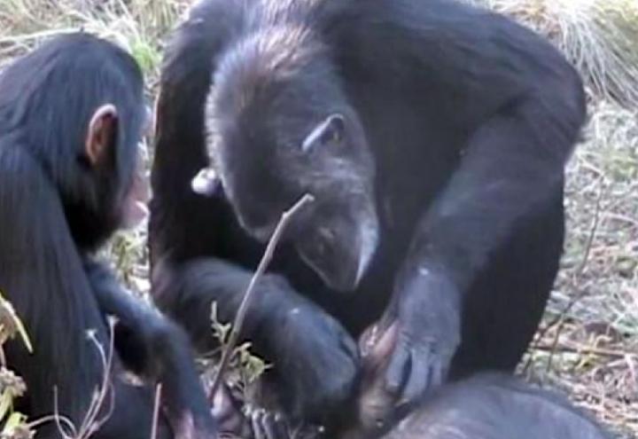 scimpanze_01