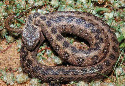 serpente_R439