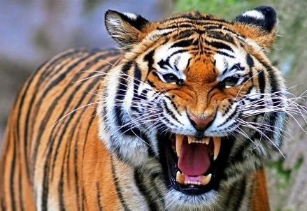 tigre_ok_R439