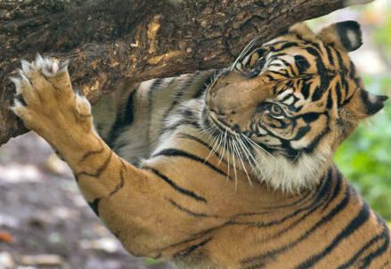 tigre_r439