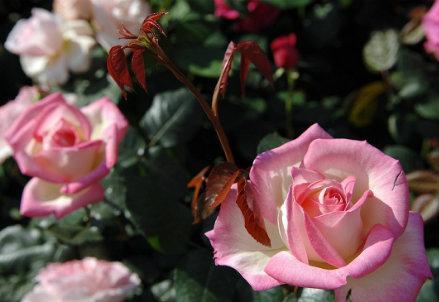 infophoto_rose_fiori_R439