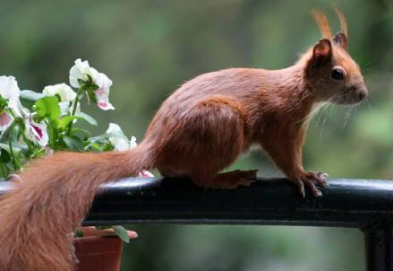 scoiattolo_r439