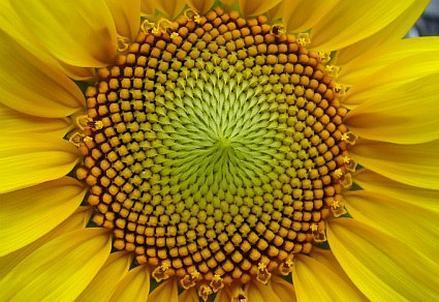 42_SiA_Fibonacci_Sequence_Fiore_Girasole_439x302