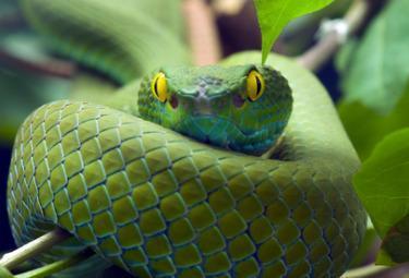 Serpente_VerdeR375