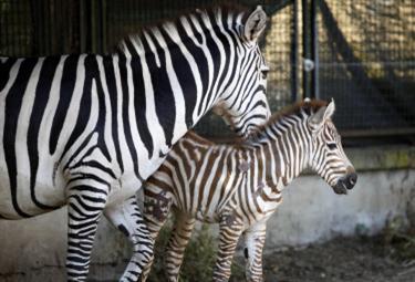 Zebra_Bioparco_RomaR375_23giu09