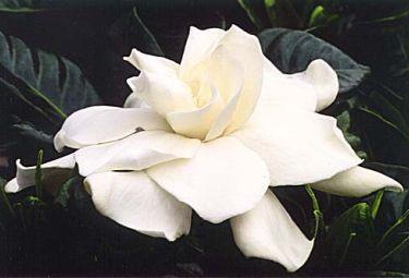 gardeniaR375