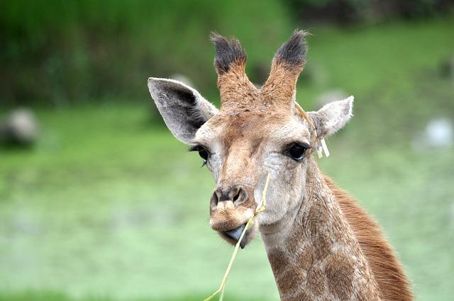 giraffe-1285317_640