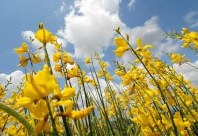primavera_fiori_ginestraR400