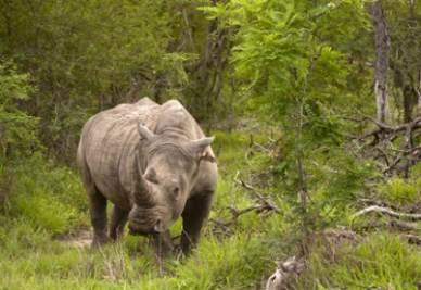 rinoceronteR400