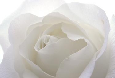 rosa_biancaR375