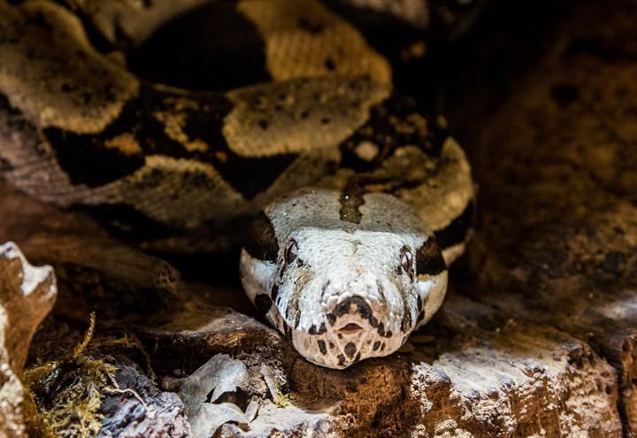serpente_boa_pixabay