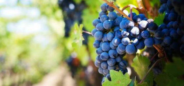 uva-vigna-vino