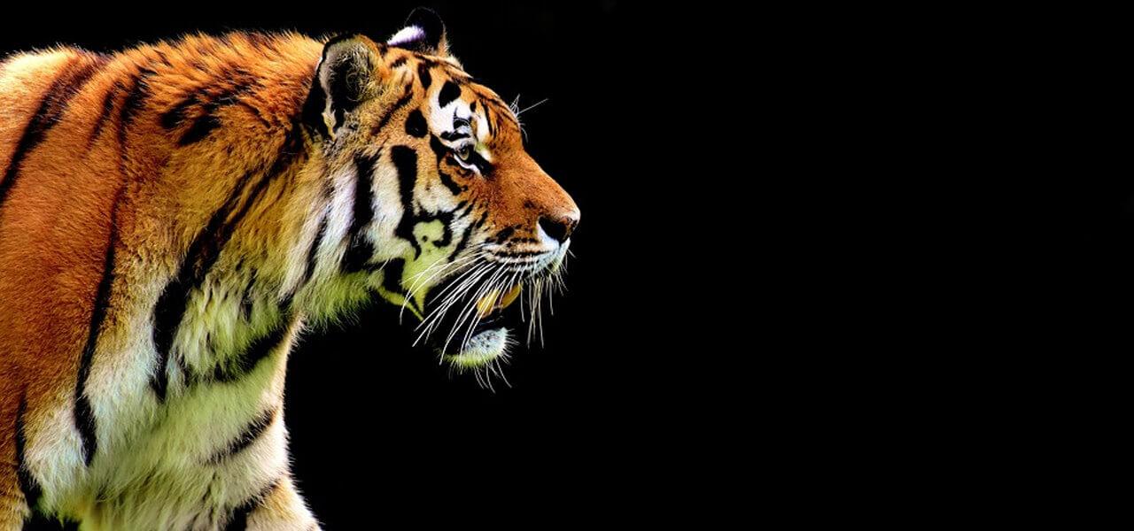 Una splendida tigre in azione