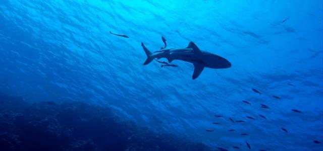 Uno squalo nell'oceano