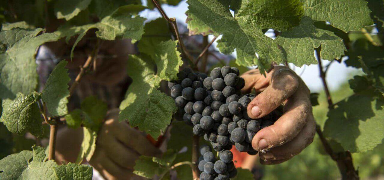 agricoltura langhe vino vite lapresse1280