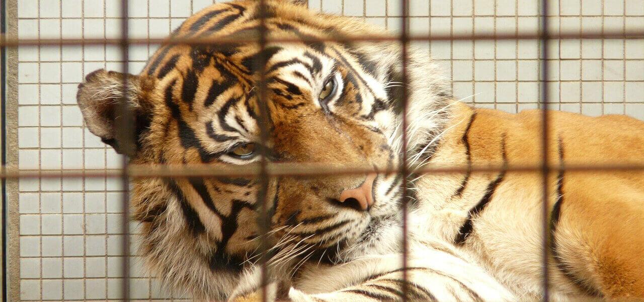 tigre 2018 pixabay