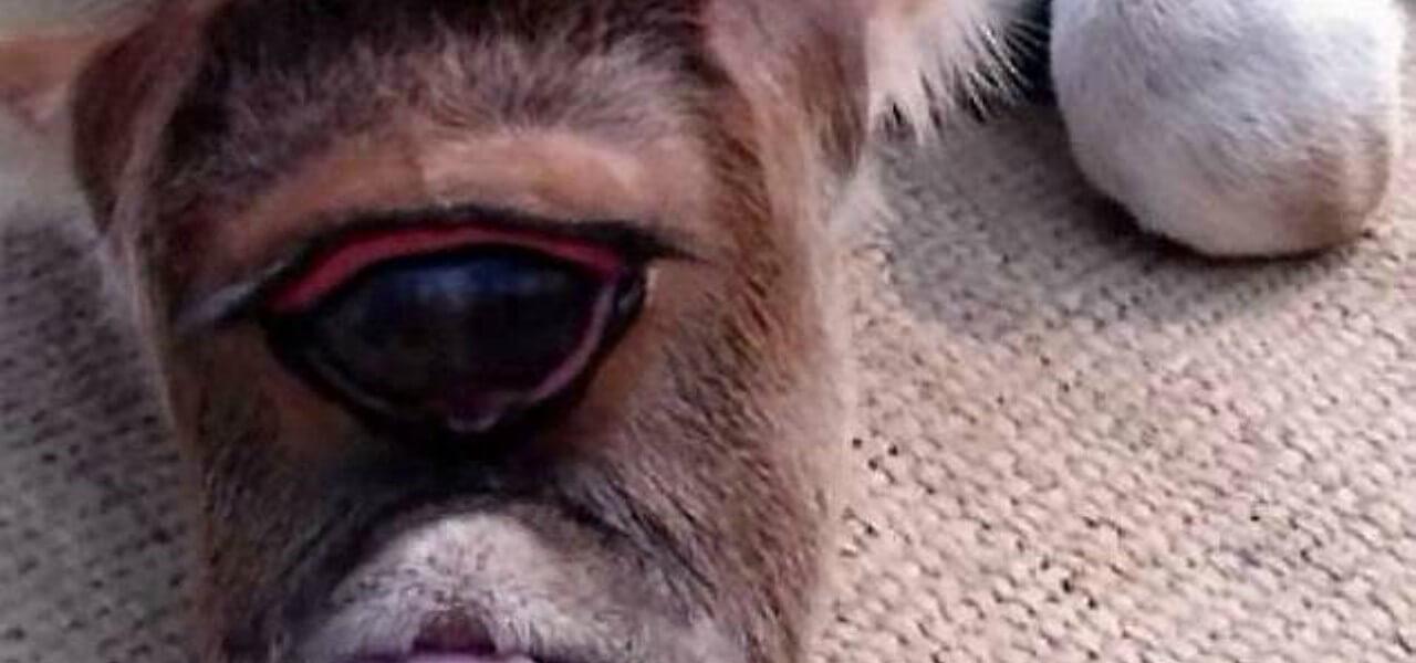 India, vitello con un solo occhio