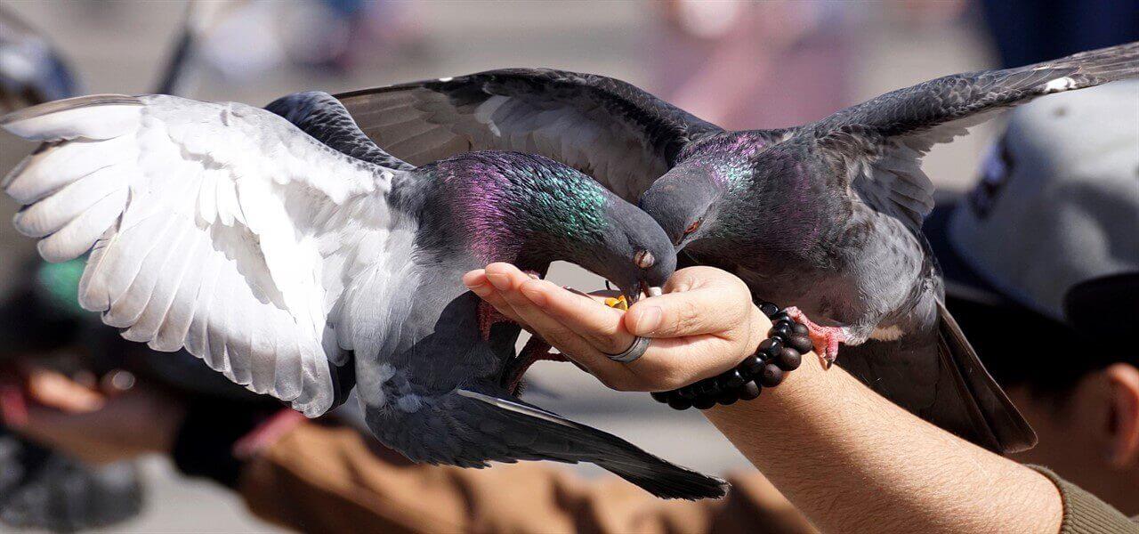 piccioni uccelli volatili pixabay