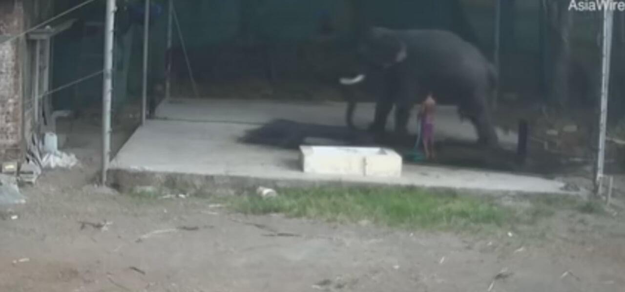Elefante schiaccia istruttore, video choc