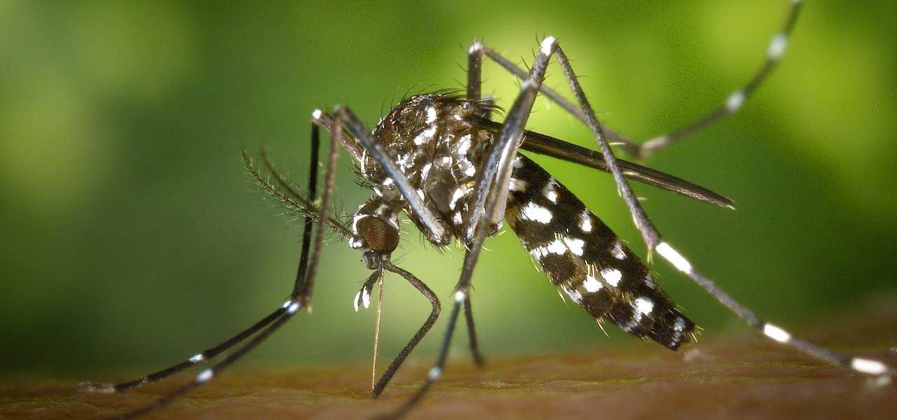 zanzare tigre 2019 pixabay