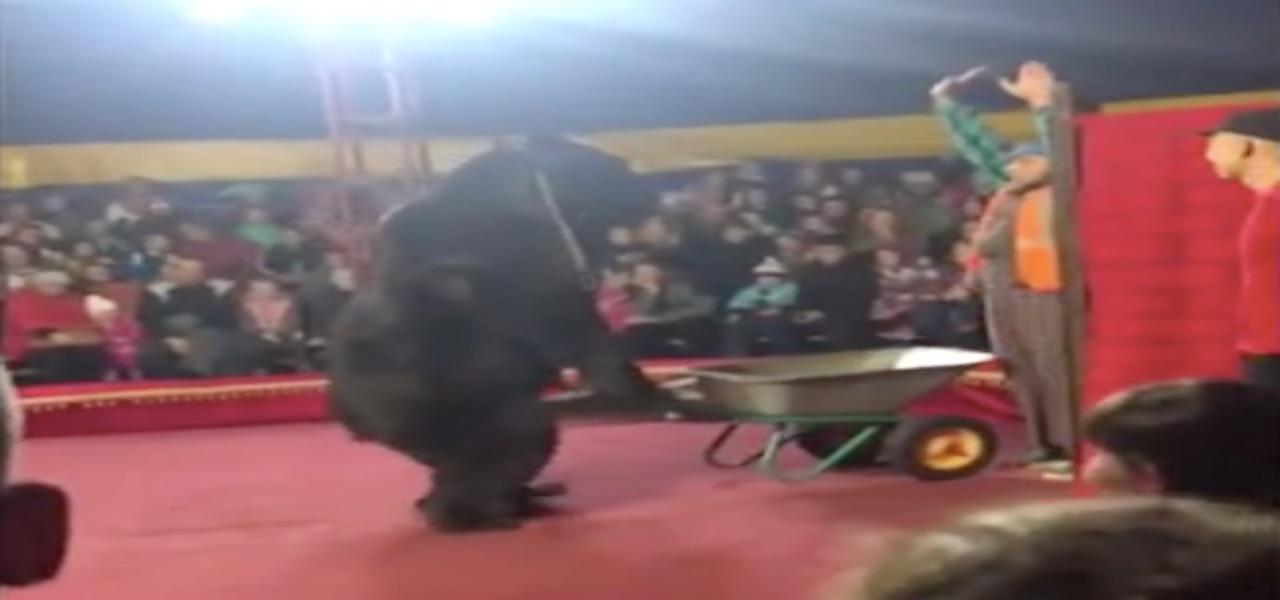 Un orso bruno attacca il suo domatore al circo, in Russia. [Foto: DailyMail]