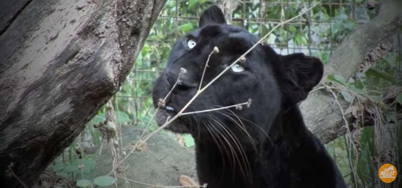 pantera nera san severo